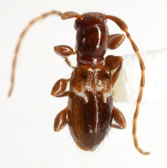 Cyrtinus pygmaeus (Haldeman) - Cyrtinus pygmaeus