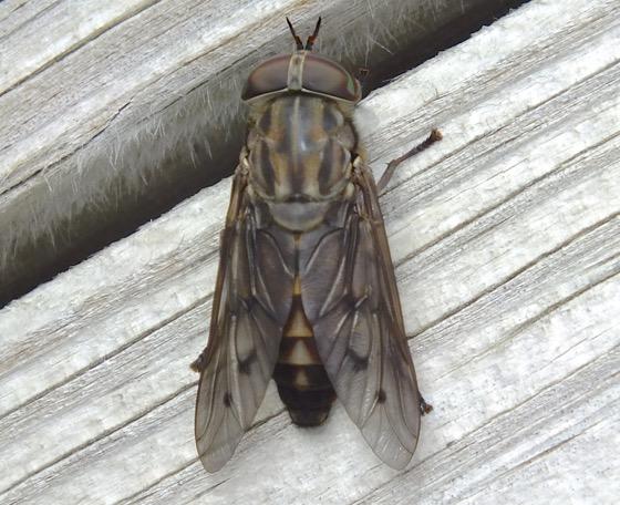 Tabanus sulcifrons - female