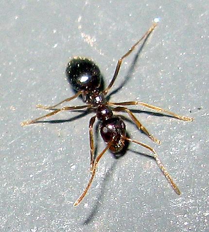 False Honey Ant - Prenolepis imparis