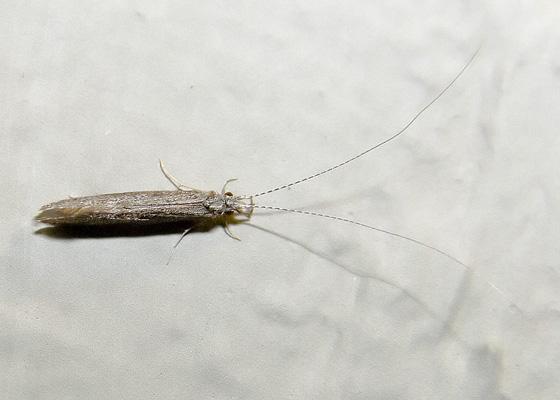 Leptocerus americanus?