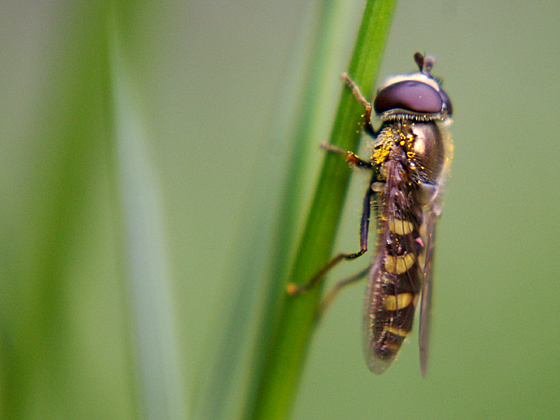 Syrphid Fly - Eupeodes - male