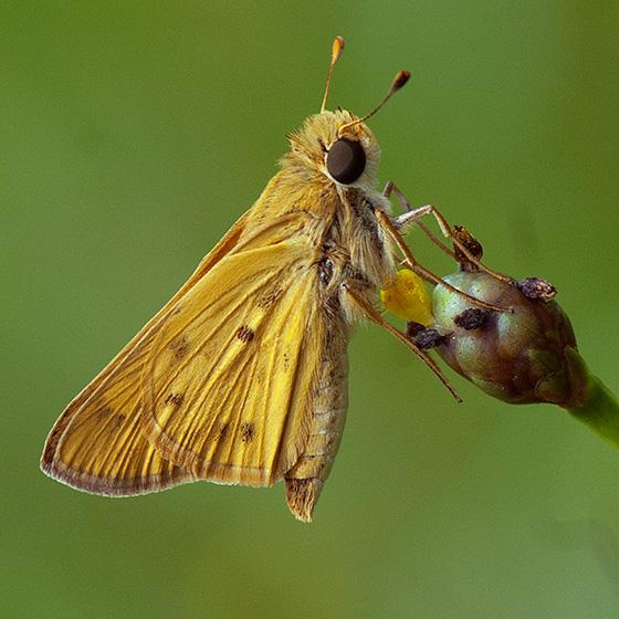 ID for a Florida panhandle skipper? - Hylephila phyleus