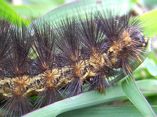 Black spikey caterpillar - Estigmene acrea