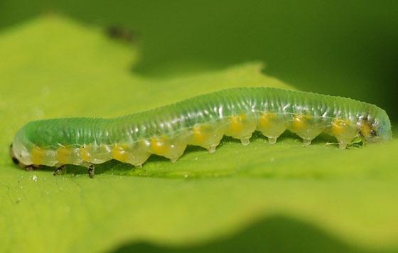larva - Thrinax dubitata