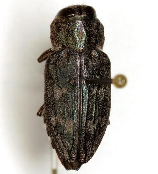 Chrysobothris rugosiceps Melsheimer - Chrysobothris rugosiceps