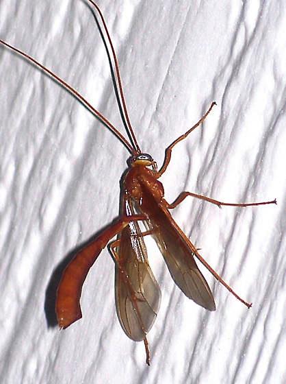 Enicospilus