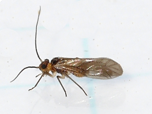 Barklouse - Valenzuela confluens
