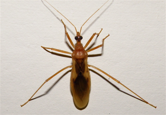 Brown Bug - Zeluroides americanus