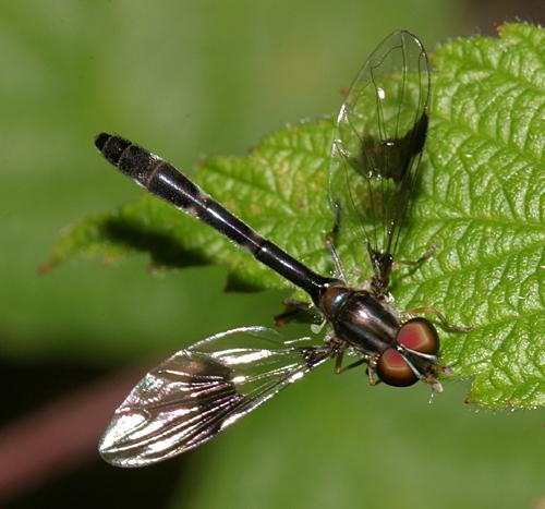 Syrphid Fly - Ocyptamus fascipennis - female