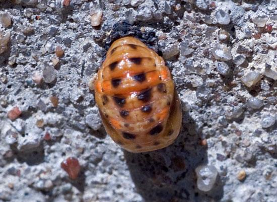 lady bug pupa - Coccinella septempunctata