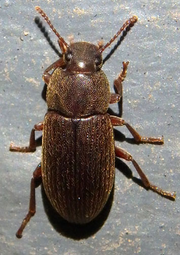 Green Valley beetle - Blapstinus
