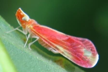 derbid planthopper - Otiocerus coquebertii