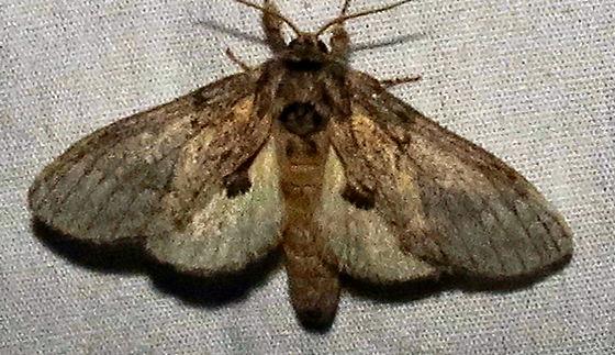 Moths 1 - Peridea basitriens
