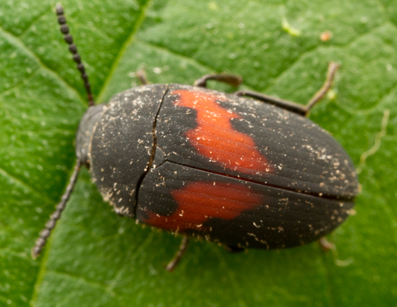 Black and red beetle - Platydema ellipticum