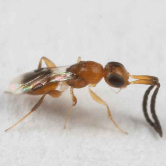 Dustywing parasitoid - Dendrocerus conwentziae