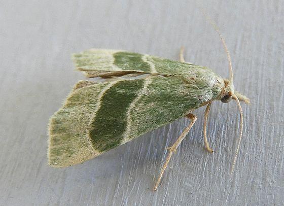 Arizona Moth  - Anemosella viridalis