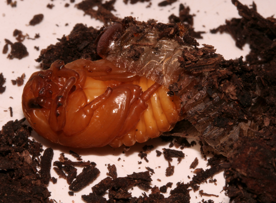 Scarabaeidae - pupa - Tomarus relictus