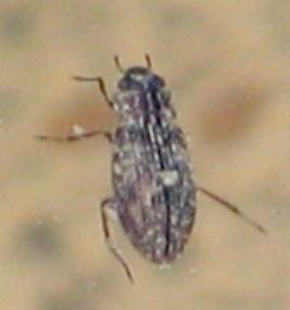 beetle in water - Helophorus