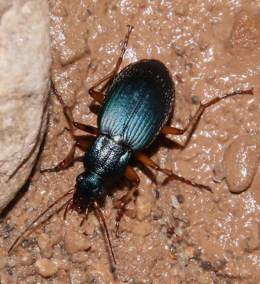 Nocturnal beetle - Chlaenius cumatilis