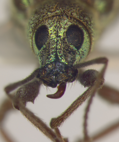Curculionidae, head - Cyrtepistomus castaneus