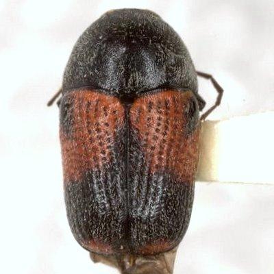 Cryptocephalus basalis Suffrian  - Cryptocephalus basalis