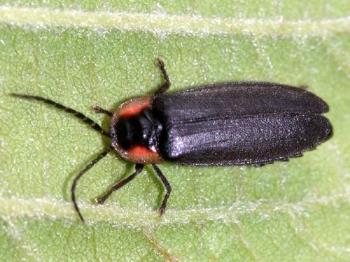 Firefly Pyropyga sp. - Pyropyga decipiens