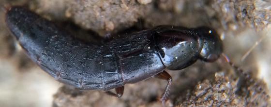 Rove beetle? - Quedius