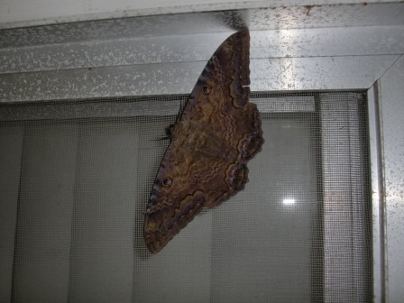 Large Brown Moth Identified As Black Witch Ascalapha