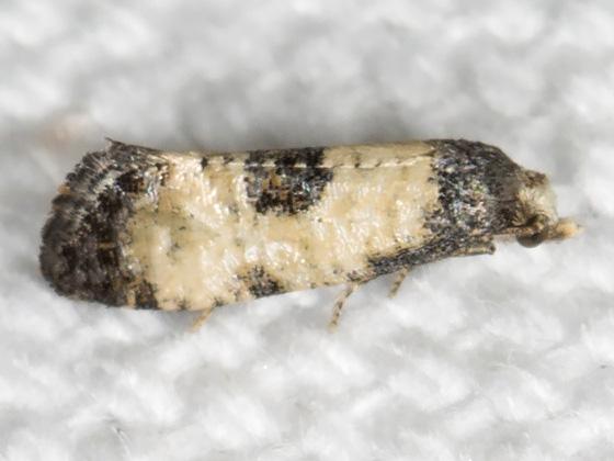 Cochylis dubitana - Hodges#3774 - Cochylis dubitana