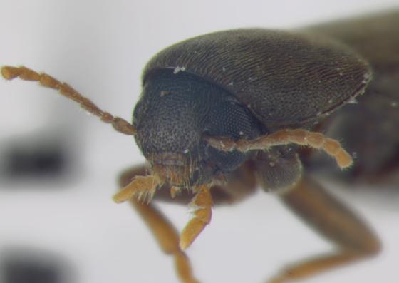 Melandryidae, head - Phloiotrya