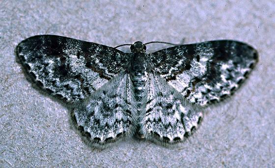 Light Carpet Moth - Hydrelia lucata - female