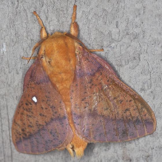Spiny Oakworm Moth - Hodges #7716 - Anisota stigma