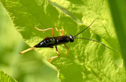 Ichneumonidae - Subfamily Pimplinae