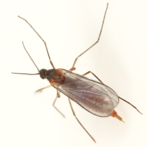 Dasineura salicifoliae - female