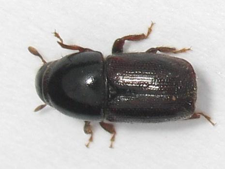 Bark Beetle? - Scolytus