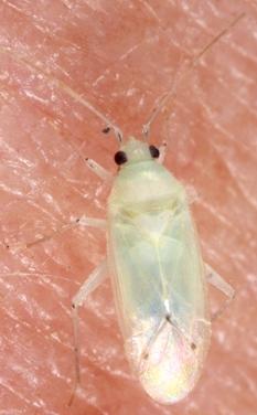 Plant Bug - Americodema nigrolineatum