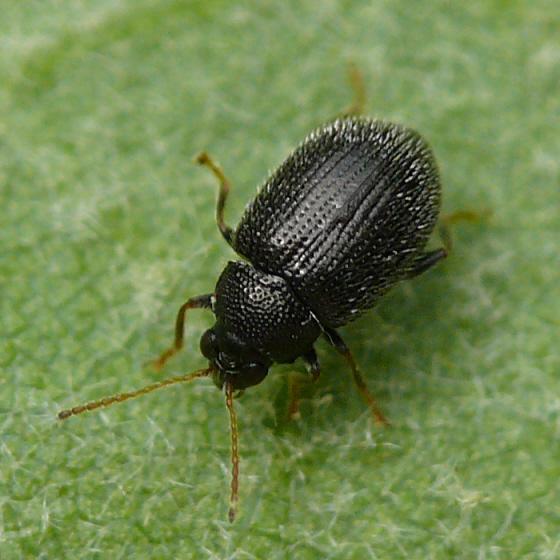 flea beetle - Epitrix fuscula