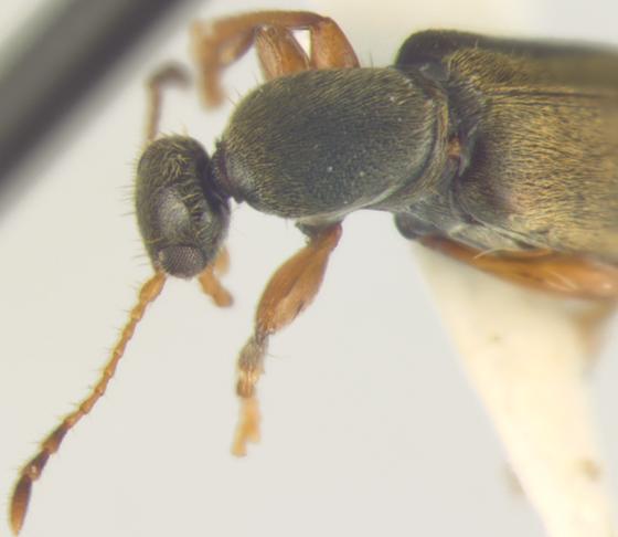 Anthicidae, pronotum - Macratria murina