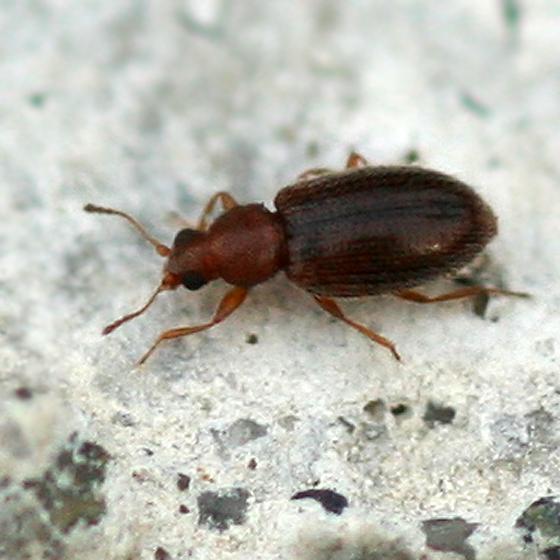 tiny brown beetle   Melanophthalma. tiny brown beetle   Melanophthalma   BugGuide Net