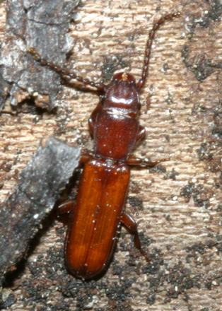 Flat Bark Beetle - Catogenus rufus