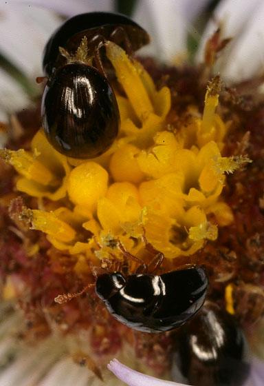Shining Flower Beetle 2191 - Olibrus