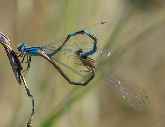 Bluets Mating - Enallagma carunculatum - male - female