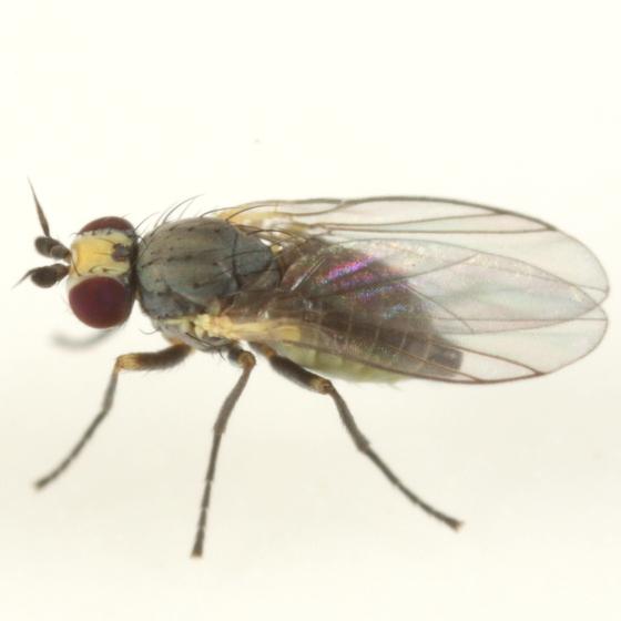 Phytomyza crassiseta - female
