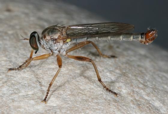 fly 101 - Polacantha arcuata - male