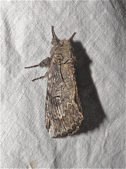 Gray Moth - Schizura