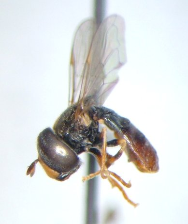 Paragus angustifrons - male