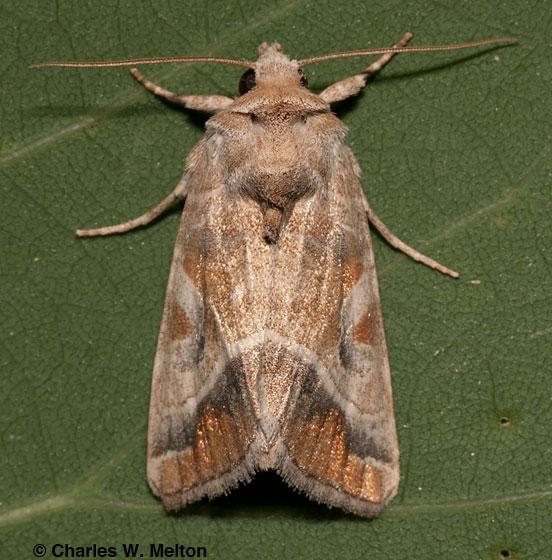 Noctuid - Hexorthodes accurata