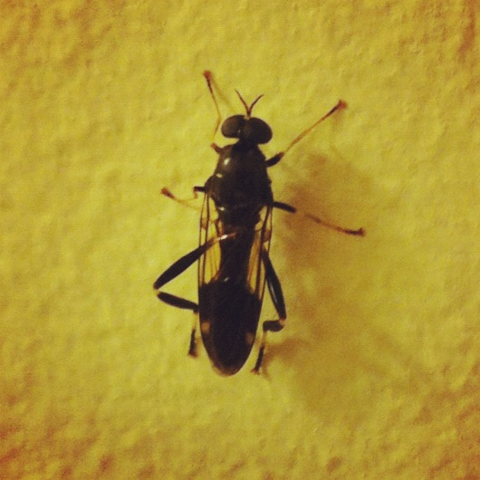 What is this insect? Is it bad to have in your house? - Exaireta spinigera