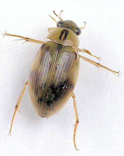 Hydrophilidae -? - Berosus