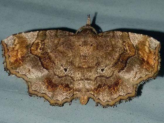 Pangrapta decoralis - Decorated Owlet (?) - Pangrapta decoralis